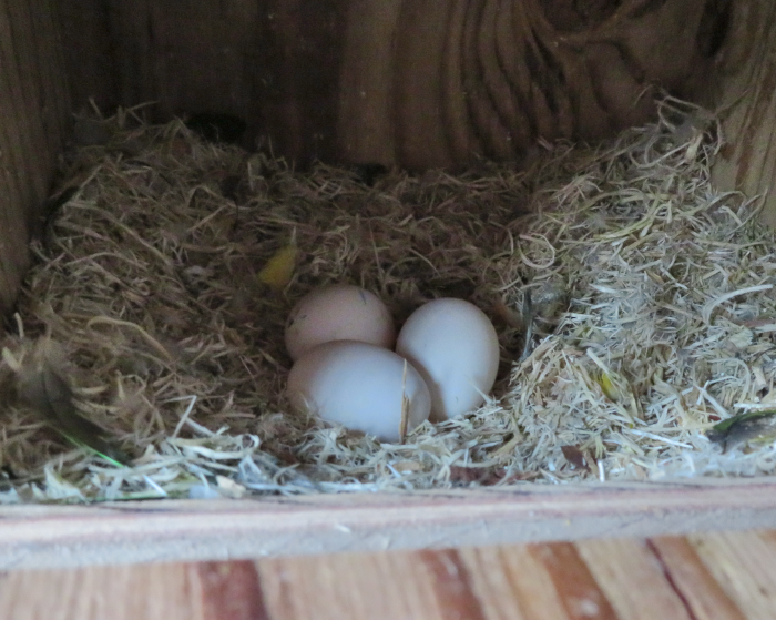 IMG_0120サザエ卵210424
