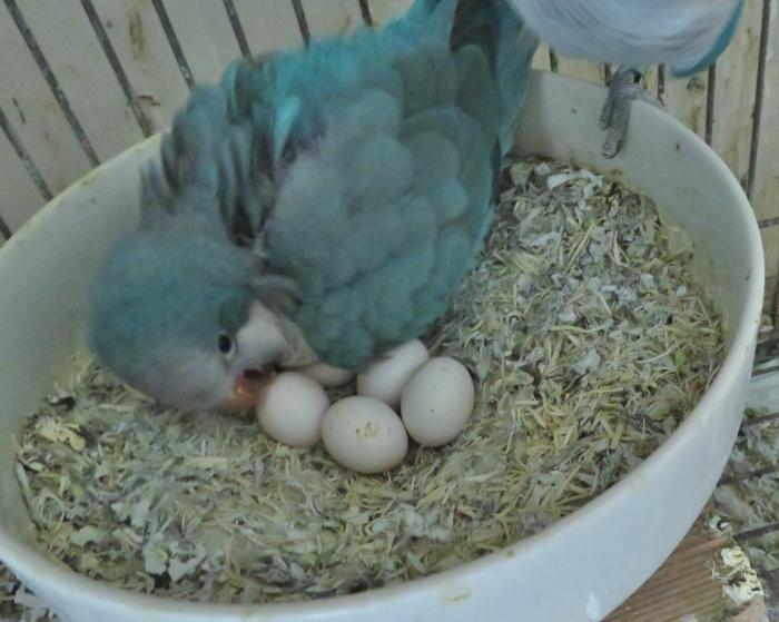 IMG_0123オキナインコ産卵210424