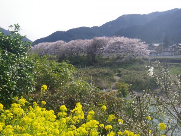20年下田橋上流桜