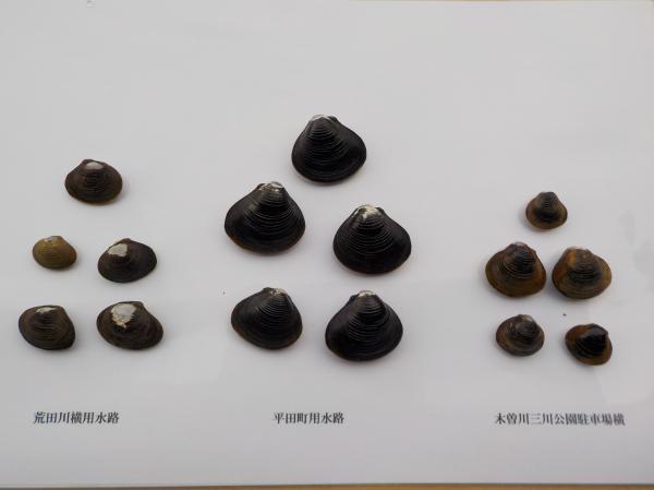 貝の殻比較