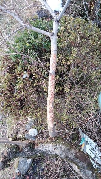 猿が囓った柿の枝