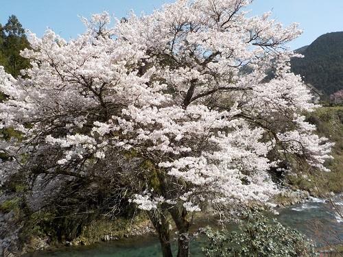 2021吉田の桜