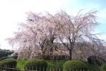 春の円山公園2021-04