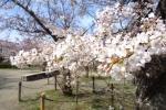 春の円山公園2021-05