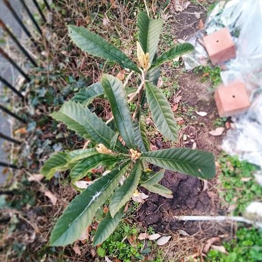 210109枇杷の木