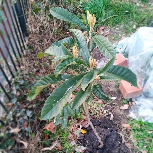 210109枇杷の木2