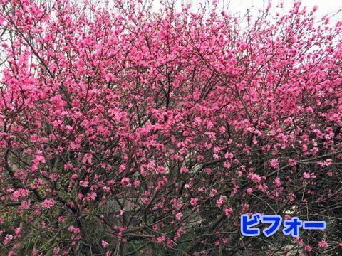 kikumomo_032920