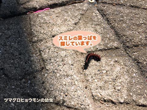tsumaguro1_040520