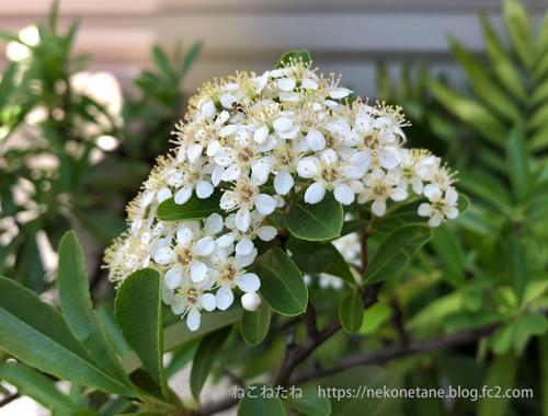 ピラカンサの花写真