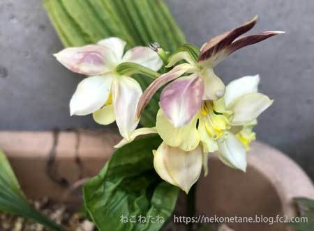 エビネ蘭の写真