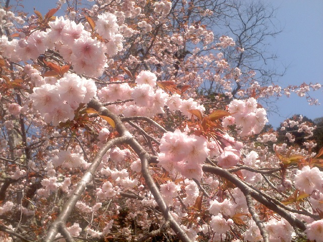 正福寺桜 202102