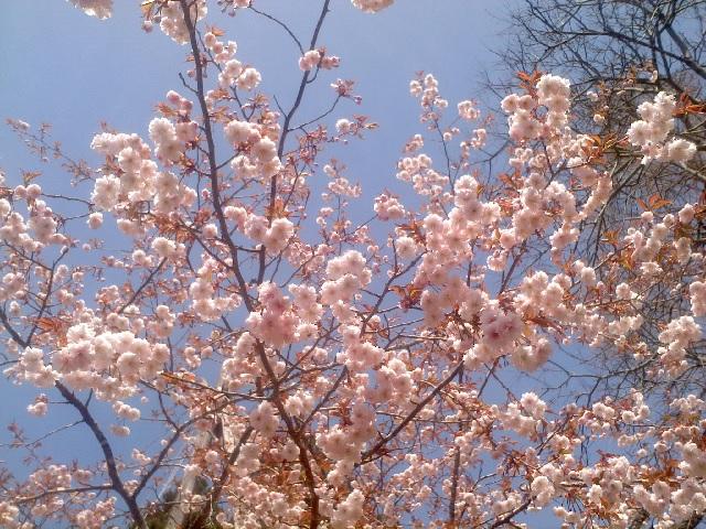 正福寺桜 202103