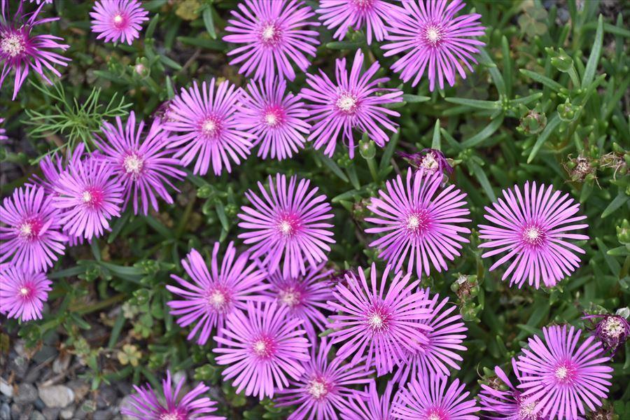 田植えと花1