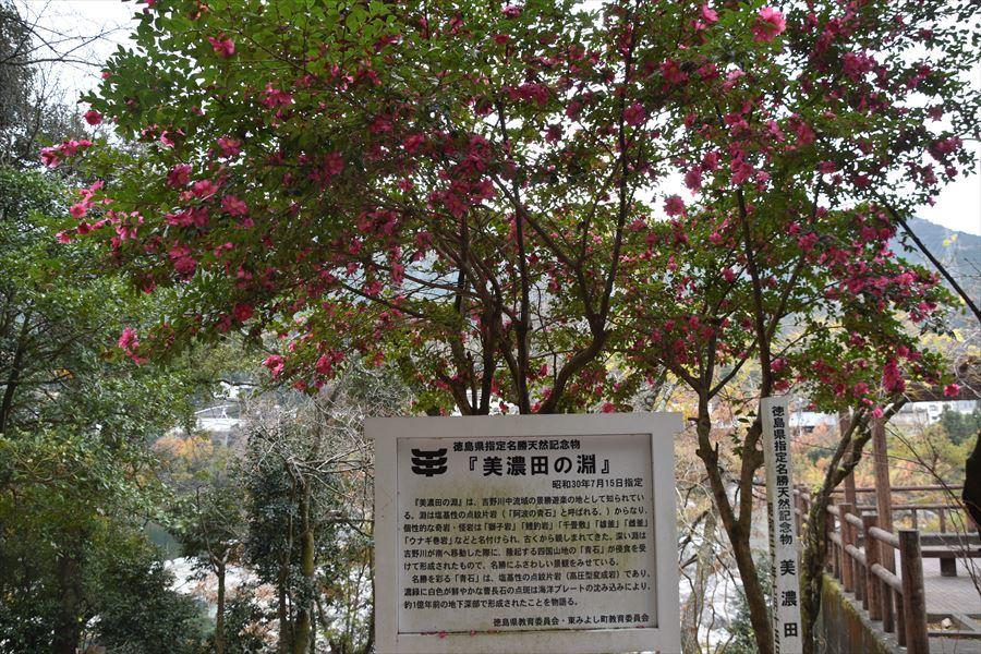 美濃田山茶花1