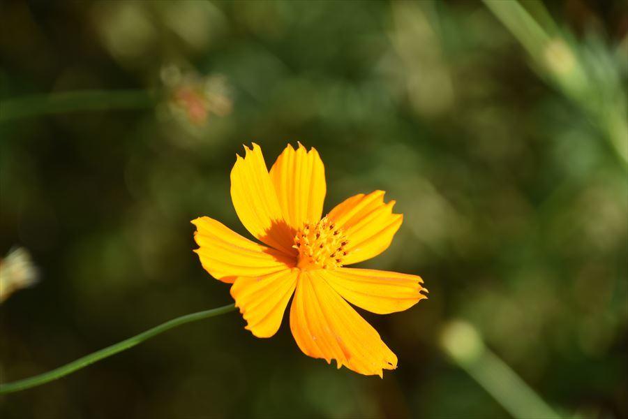 黄花コスモス2