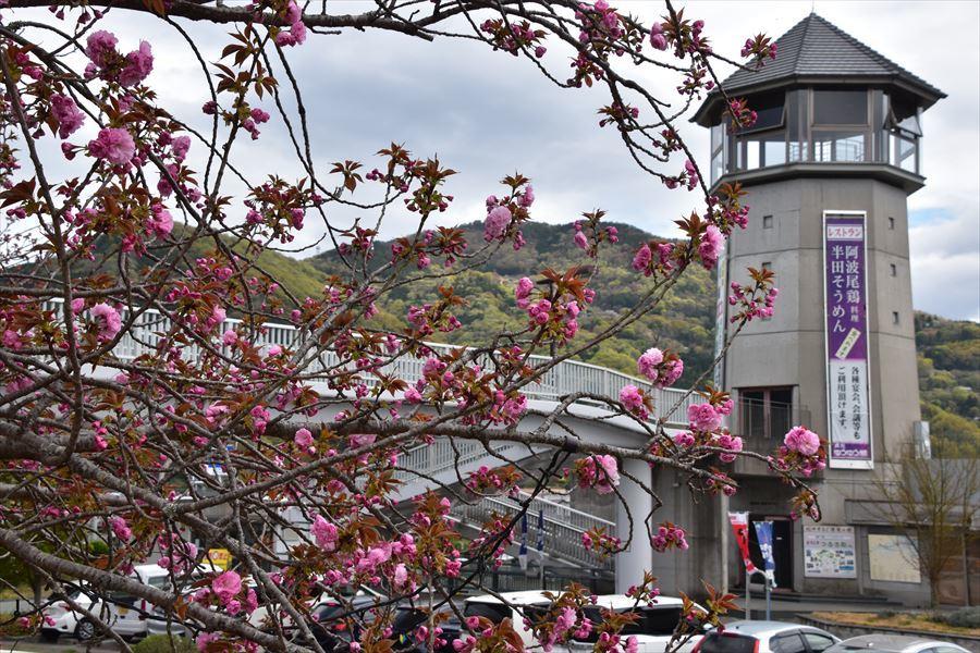 ゆうゆう桜2