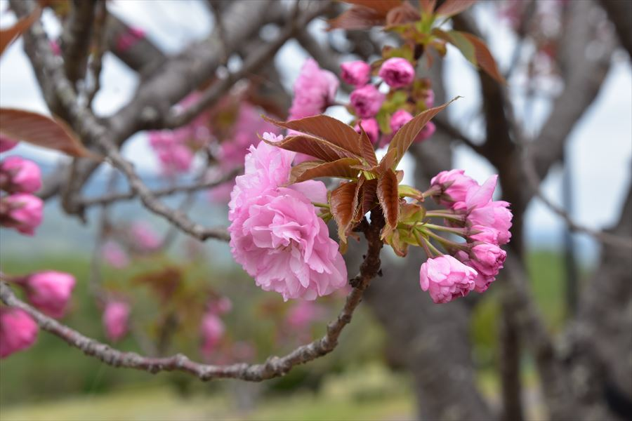 ゆうゆう桜1