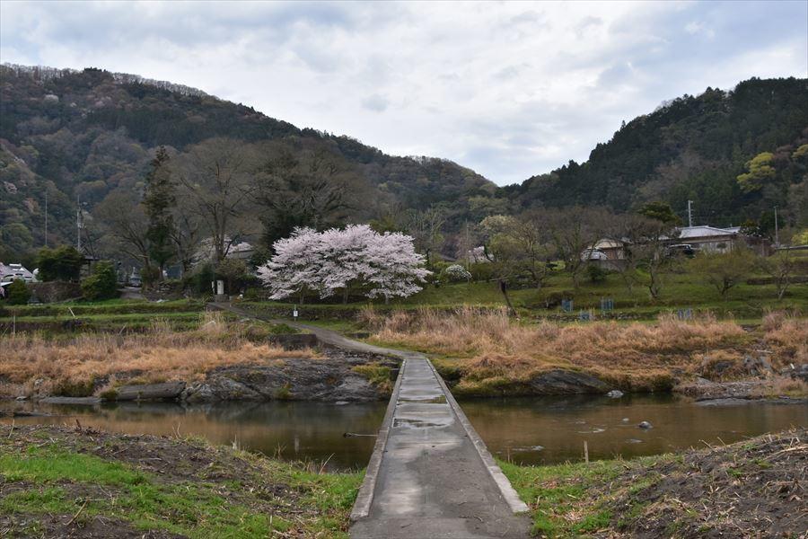 潜水橋と桜2