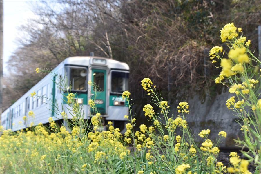 列車と菜の花1