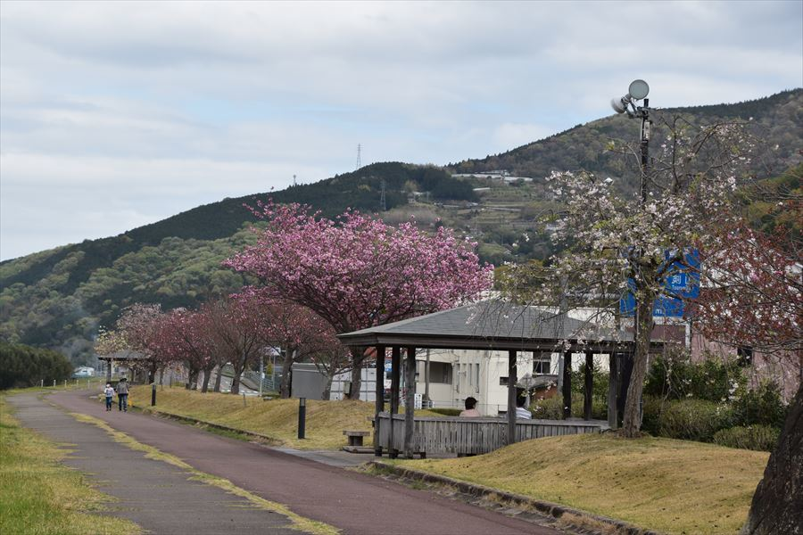 ゆうゆう桜5