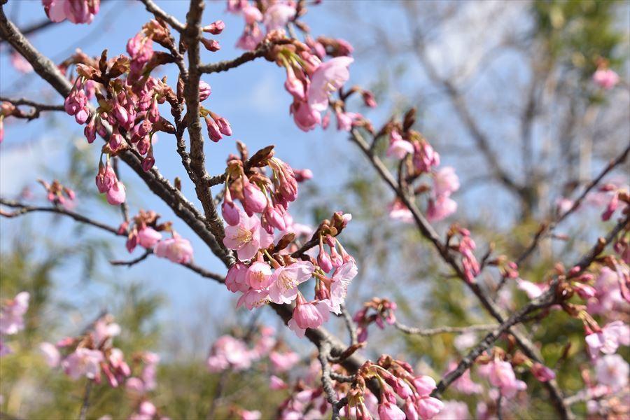 蜂須賀桜5