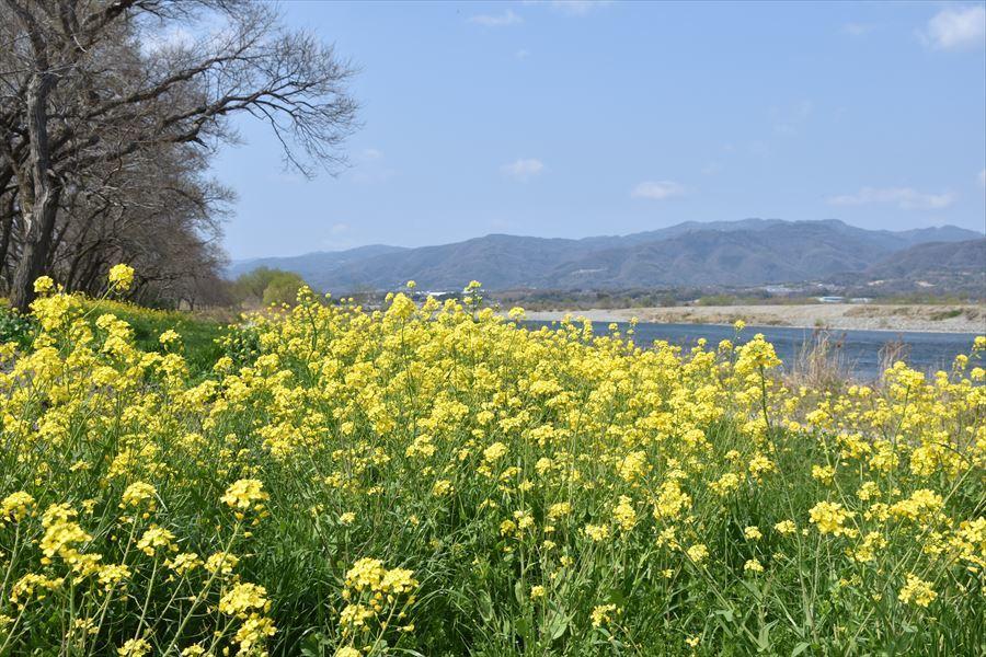 山川菜の花2