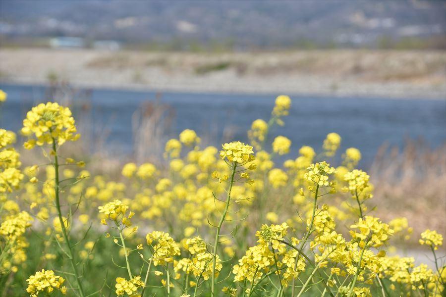 山川菜の花1