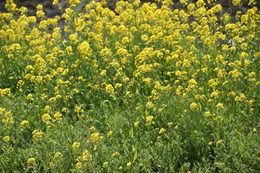 山川菜の花5