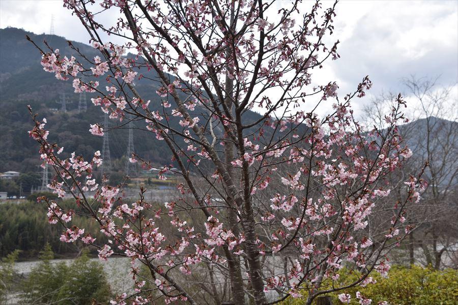 オアシス桜3