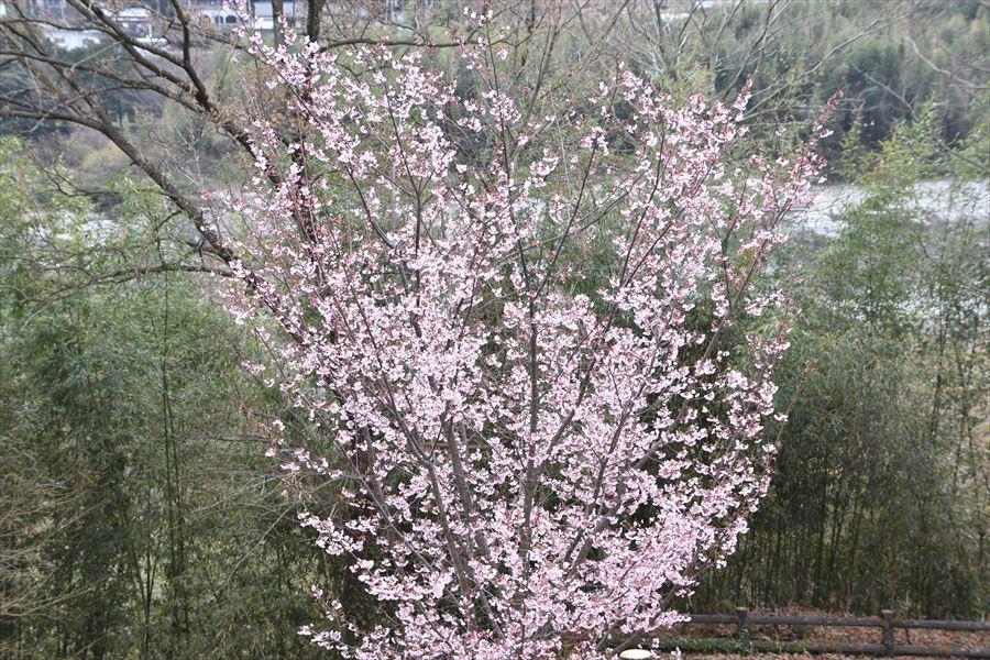 オアシス桜4