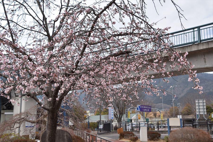 オアシス桜5