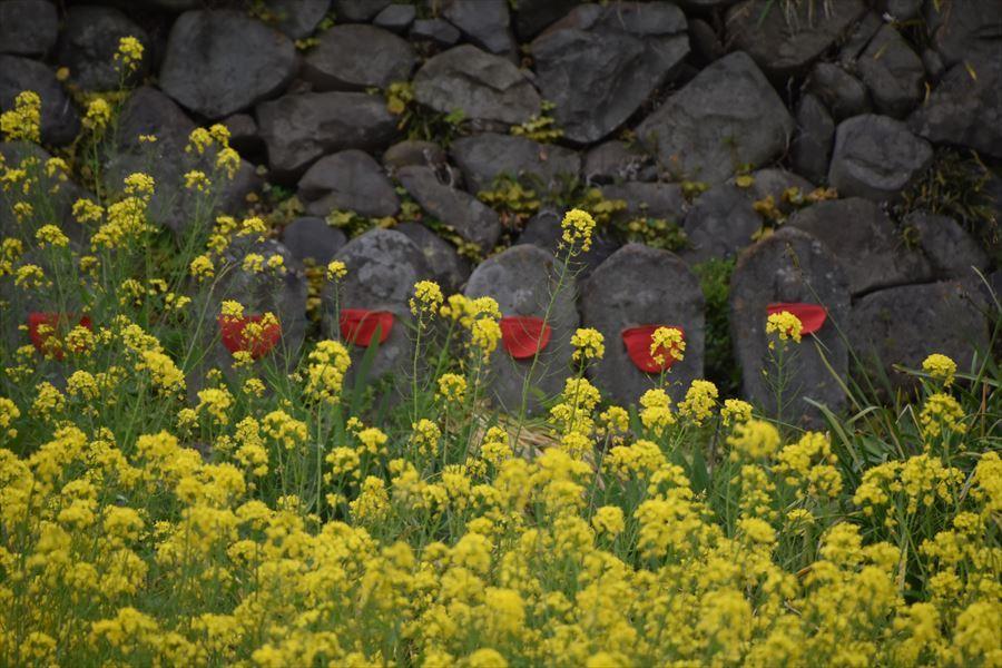 うだつ菜の花4