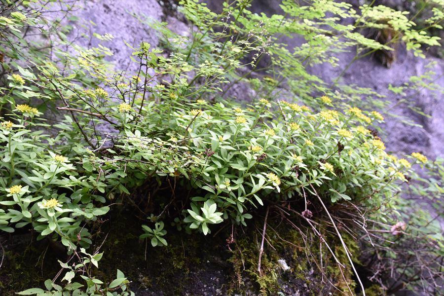 剣山植物5