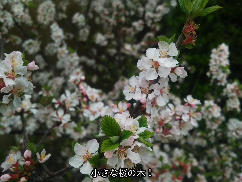 小さな桜の木