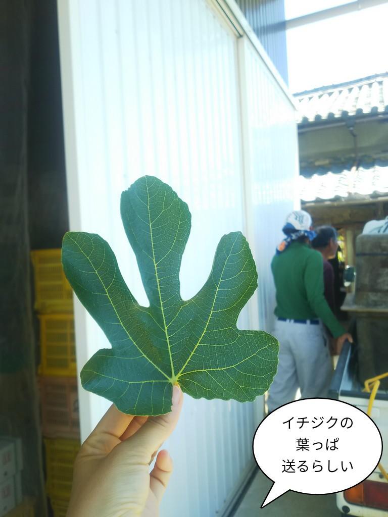 イチジクの葉っぱ