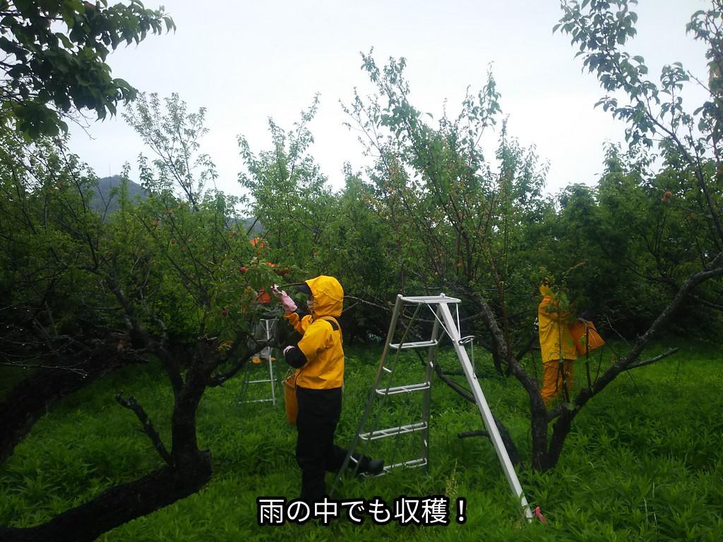 雨の中でも収穫!
