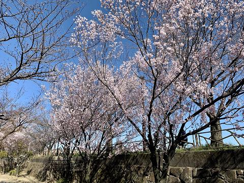 1818-清洲公園の彼岸桜