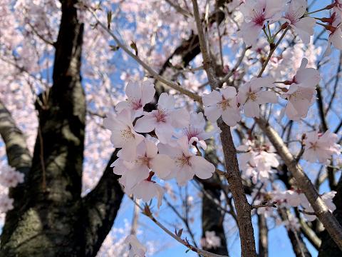 1819-彼岸桜