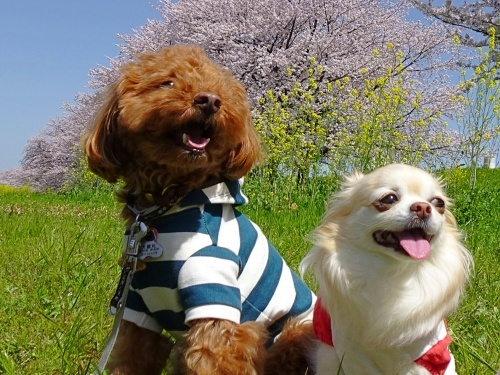 木曽三川公園背割堤桜 ひまりくん 柚子