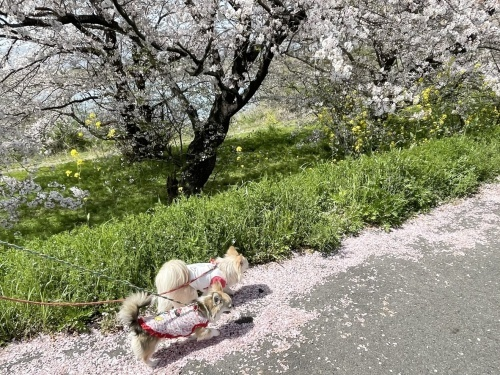 木曽三川公園背割堤桜 柚子 杏子