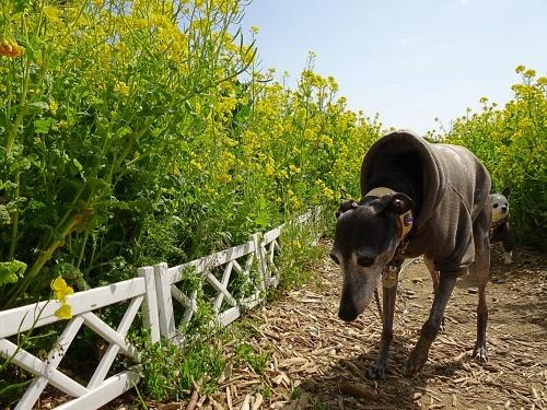 菜の花ガーデン 福助くん