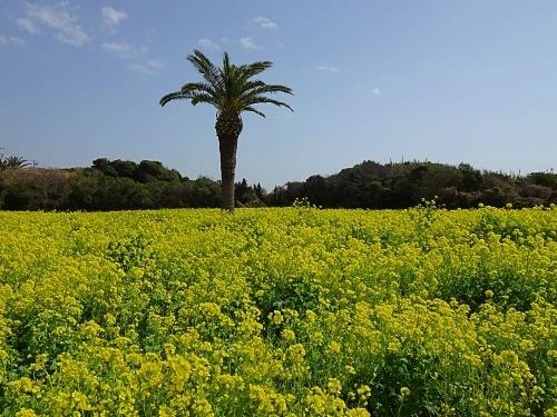 菜の花ガーデン