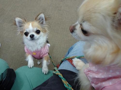 犬の学校 柚子 杏子
