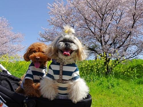 木曽三川公園背割堤桜 メリーくん  ひまりくん