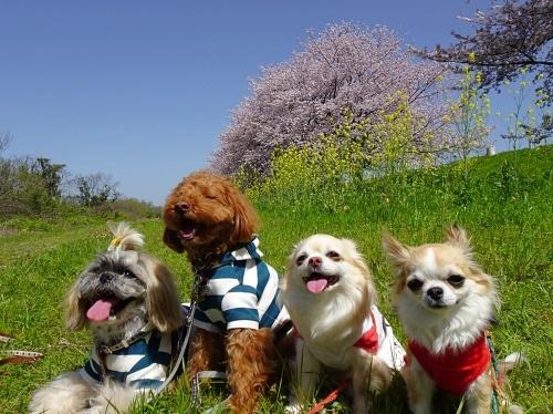 木曽三川公園背割堤桜 メリーくん  ひまりくん 柚子 杏子