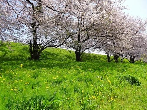 木曽三川公園背割堤桜