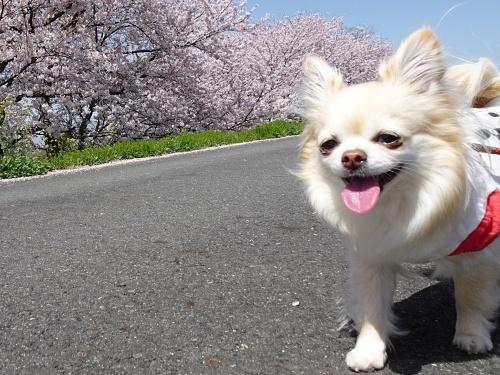 木曽三川公園背割堤桜 柚子