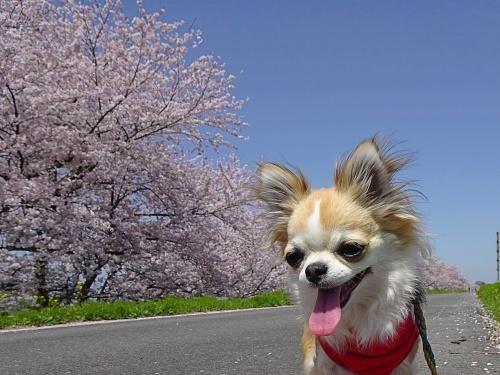 木曽三川公園背割堤桜 杏子