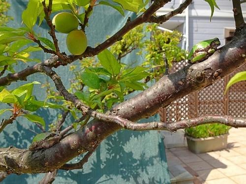 梅の木 アマガエル