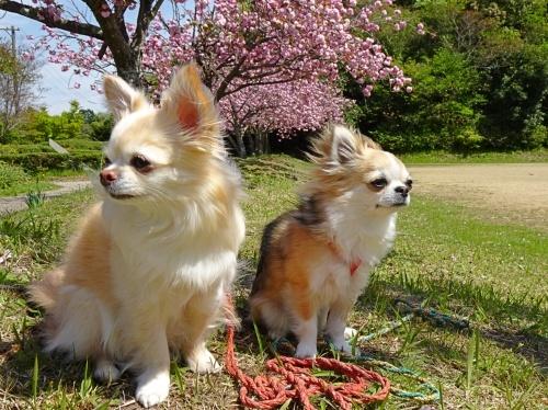 八重桜 柚子 杏子